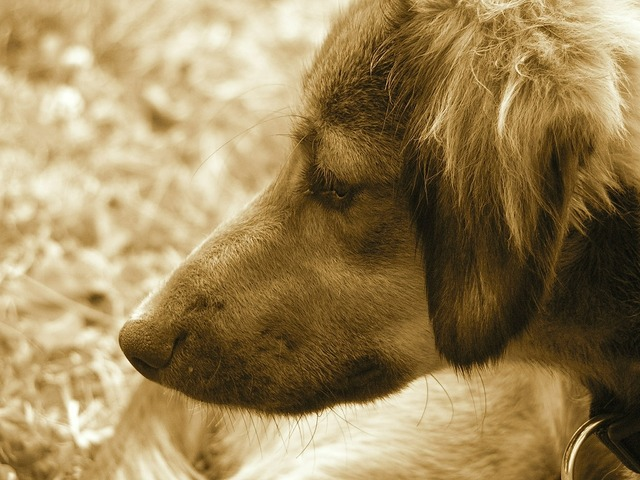 Dog portrait sepia, animals.