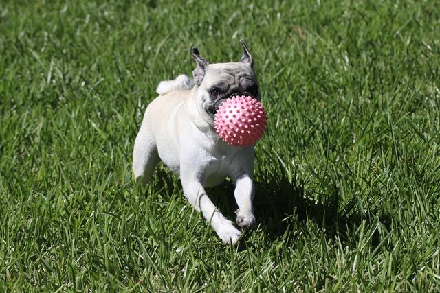 Dog pug playing, animals.