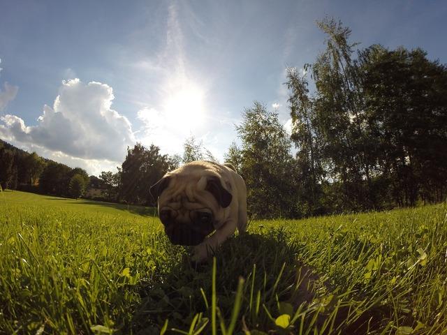 Dog pug sun, animals.