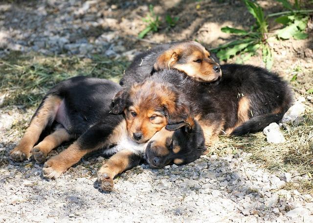 Dog puppies puppies dog, animals.