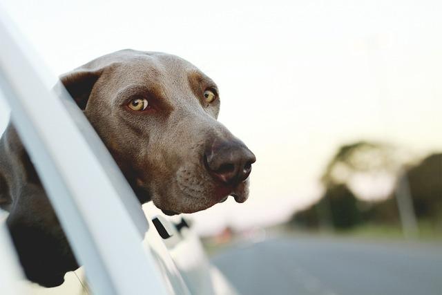 Dog puppy breed, animals.