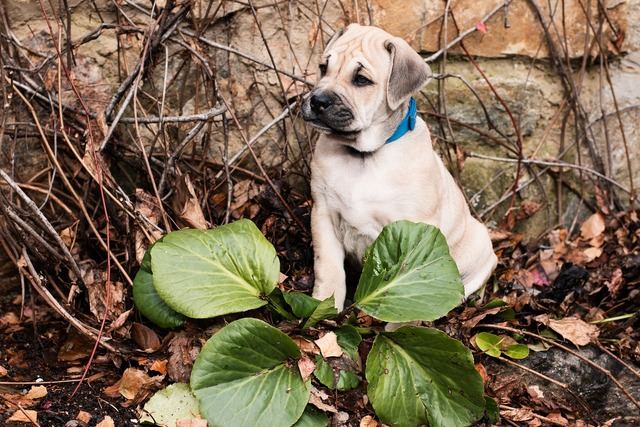 Dog puppy ca-de-bou, animals.