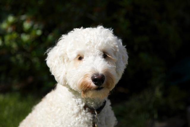Dog puppy labradoodle, animals.