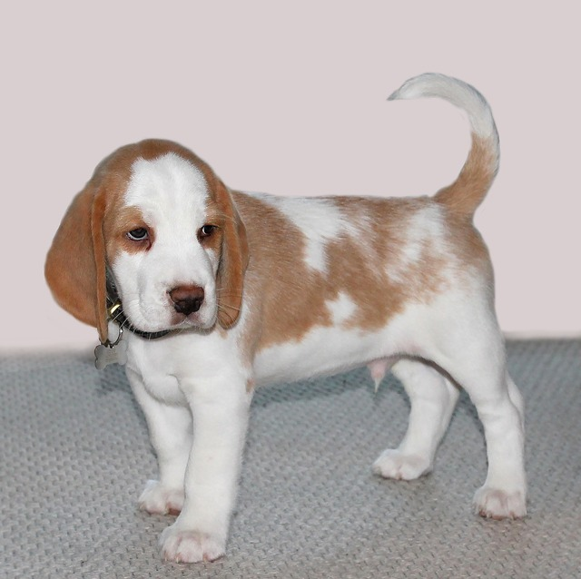 Dog puppy pets, animals.