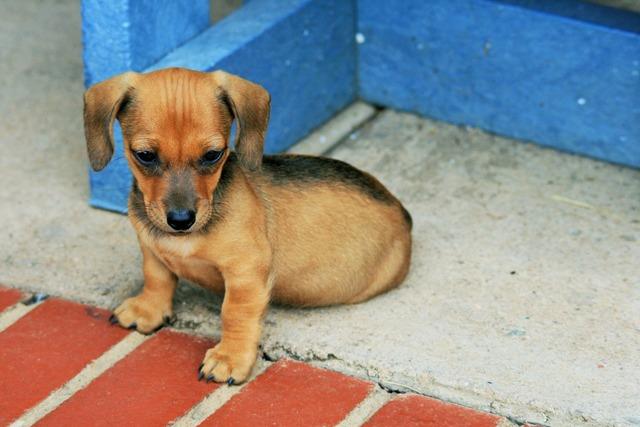 Dog puppy sausage, animals.