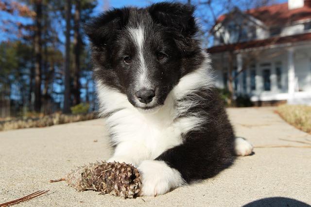 Dog puppy shetland sheepdog, animals.