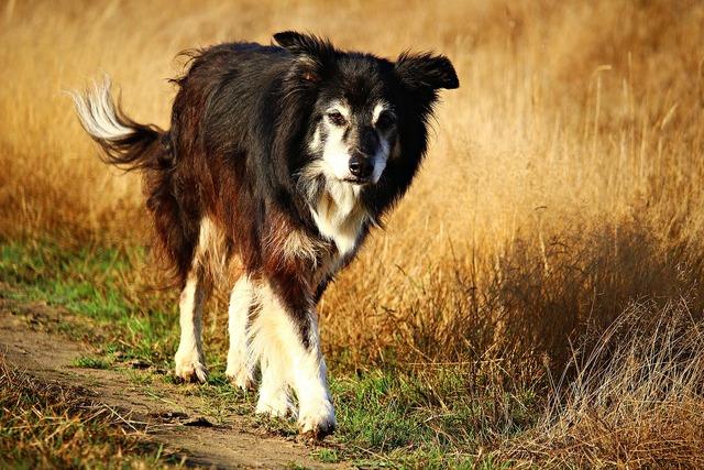 Dog purebred dog border, animals.