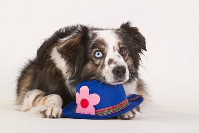 Dog purebred dog british sheepdog, animals.