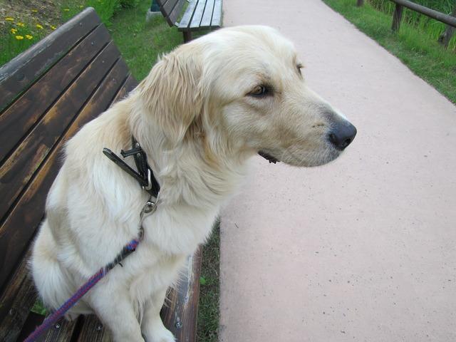 Dog retriever golden, animals.