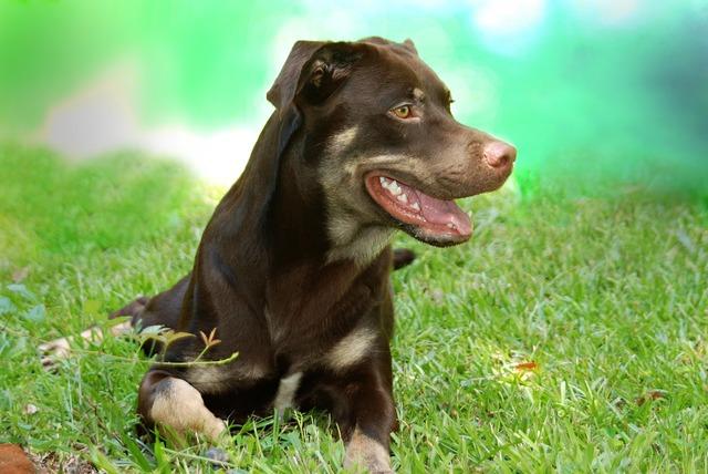 Dog rottweiler grass, animals.