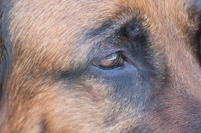 Dog schäfer dog eye, animals.