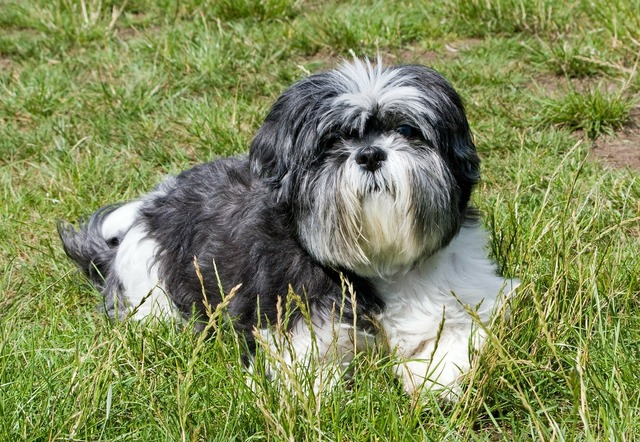 Dog shih tzu grey, animals.