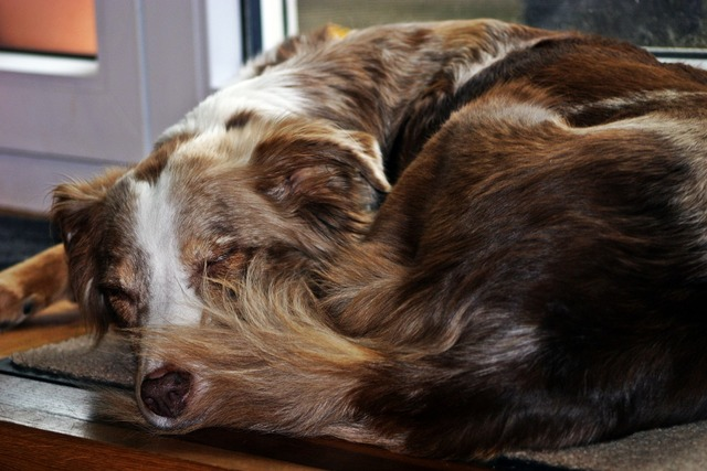 Dog sleeping australian shepherd, animals.