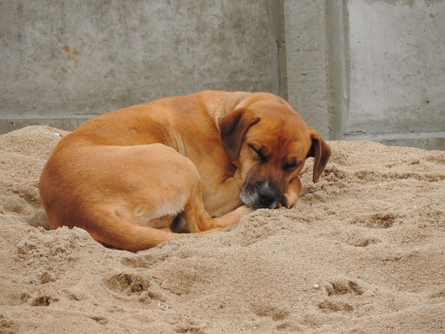 Dog sleeping sand, animals.