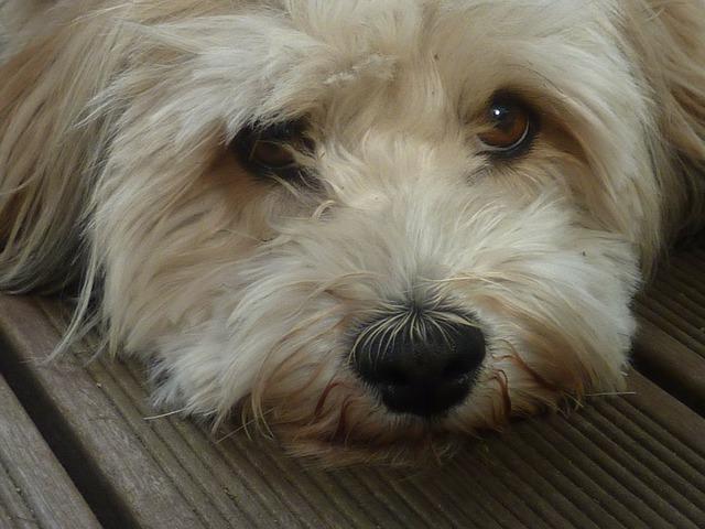 Dog small dog dog eyes, animals.