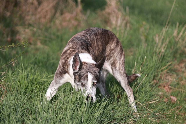 Dog sniffing tracking, animals.