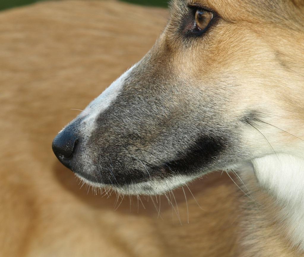 Dog snout nose snout, animals.