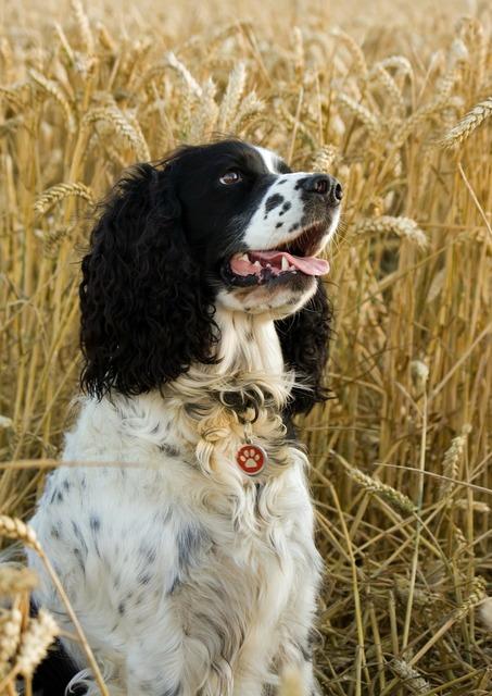Dog springer spaniel, animals.