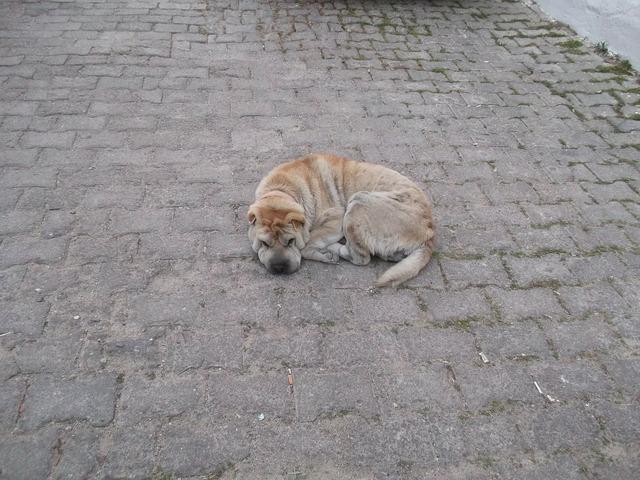 Dog street sleepyhead, animals.