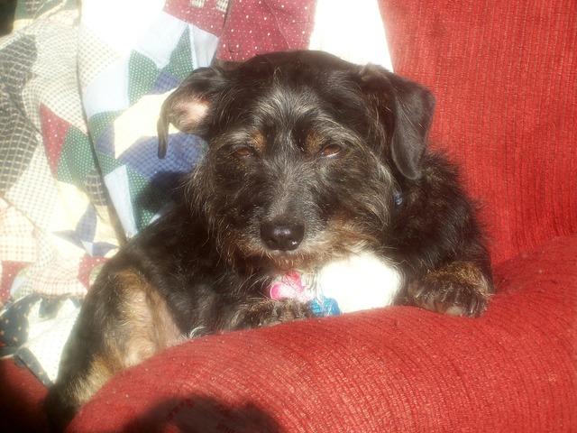 Dog terrier sunny, animals.