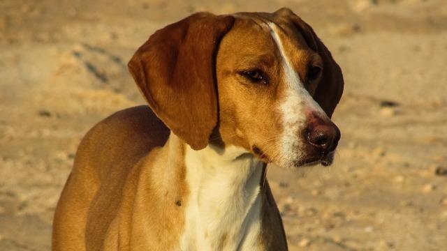 Dog vizla brown, animals.