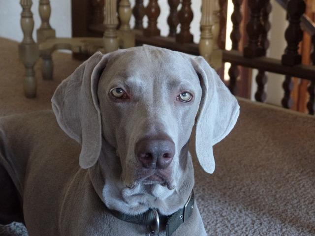 Dog weimaraner grey, animals.