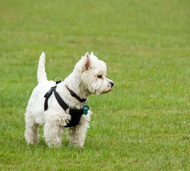 Dog westie west highland terrier, animals.