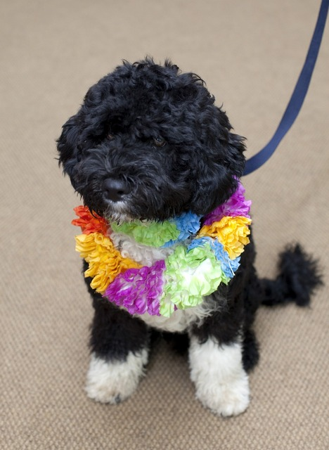 Dog white house portuguese water dog, animals.