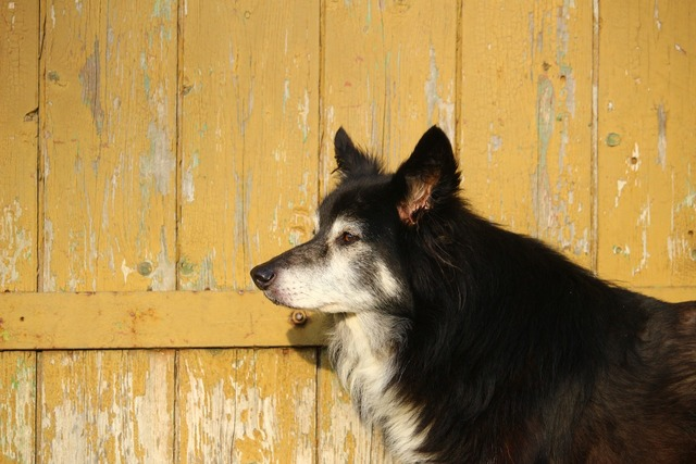 Dog wooden wall border collie, animals.