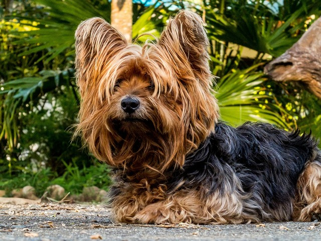 Dog yorkshire terrier small dog, animals.