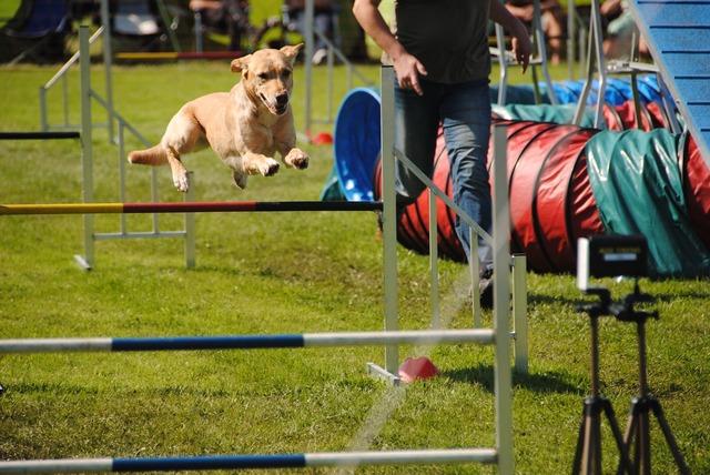 Dogs agility jump.