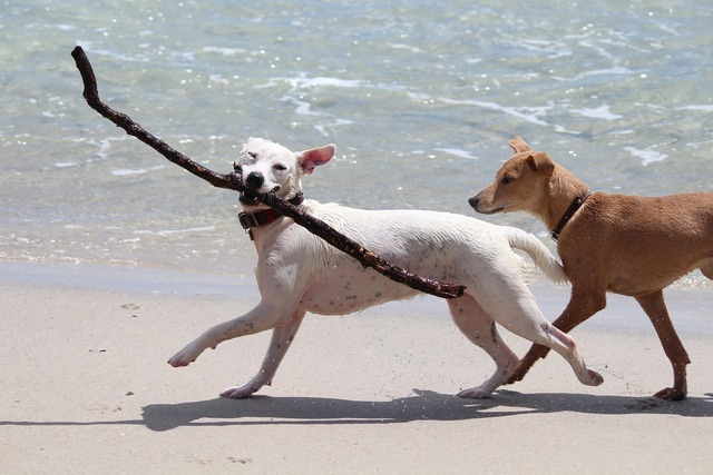 Dogs batons play, travel vacation.