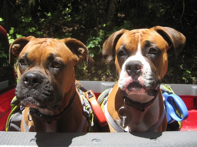 Dogs boxer dog brothers, animals.