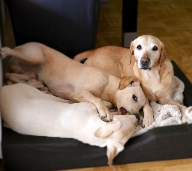 Dogs labrador puppy, animals.