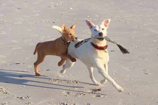 Dogs play batons, travel vacation.