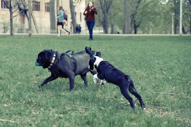 Dogs playing park.