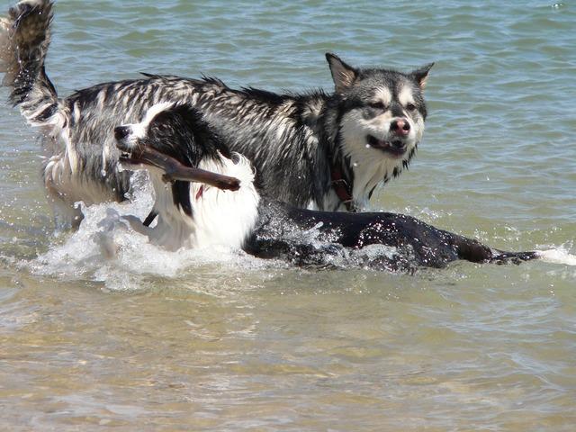 Dogs stick swimming, animals.
