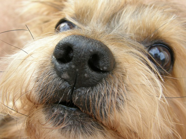 Dogs yorkshire terrier pets.