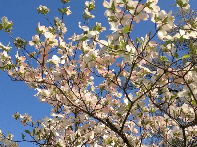 Dogwood blooms tree, nature landscapes.