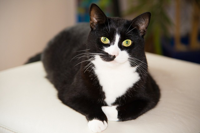 Domestic cat black and white cat, animals.