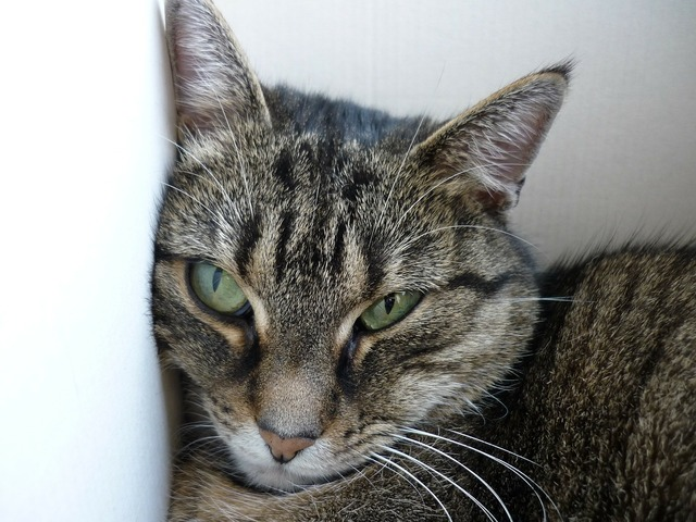 Domestic cat cat cat's eyes, animals.