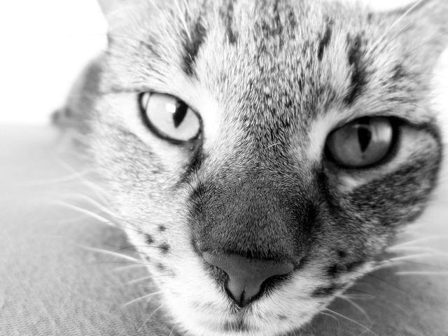 Domestic cat cat nose, animals.