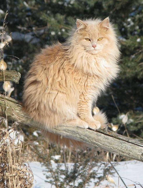 Domestic cat felis catus crossbreed, animals.