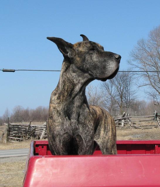 Domestic dog canis familiaris great dane.
