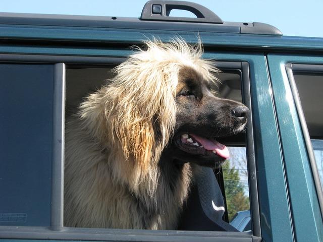Domestic dog canis familiaris leonberger.