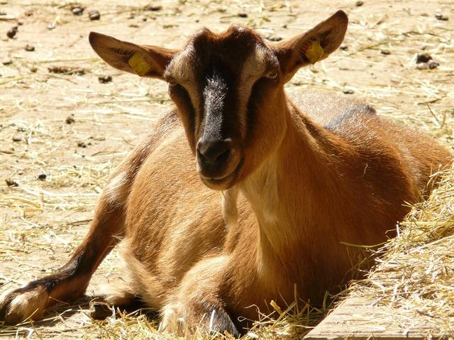 Domestic goat goat livestock, animals.