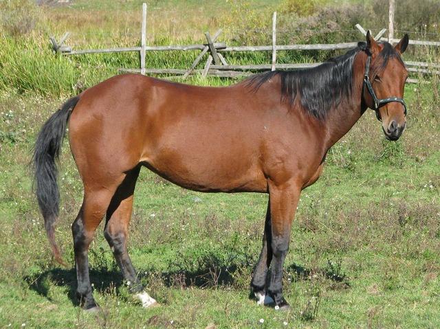 Domestic horse equus ferus caballus american quarter horse.