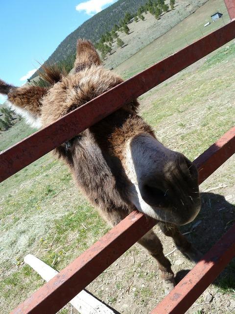 Donkey fence face, animals.