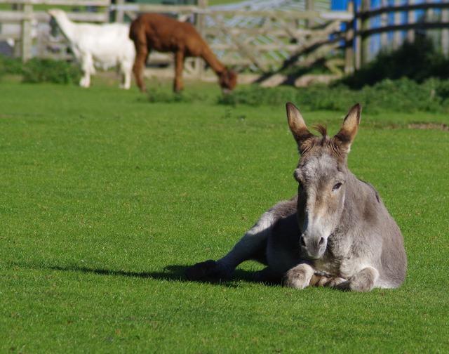 Donkey resting farm.