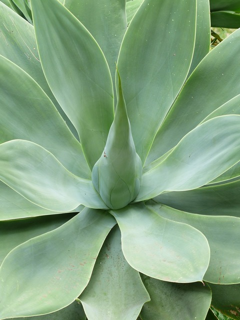 Dragon tree-agave leaves plant, nature landscapes.